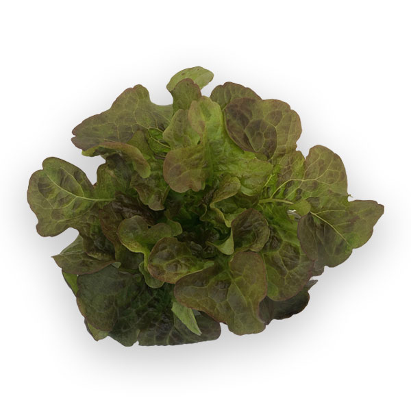 Oakleaf-roxaui lettuce from Herban Produce urban farm in Chicago.