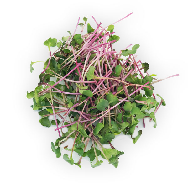 Radish microgreens from Herban Produce urban farm in Chicago.