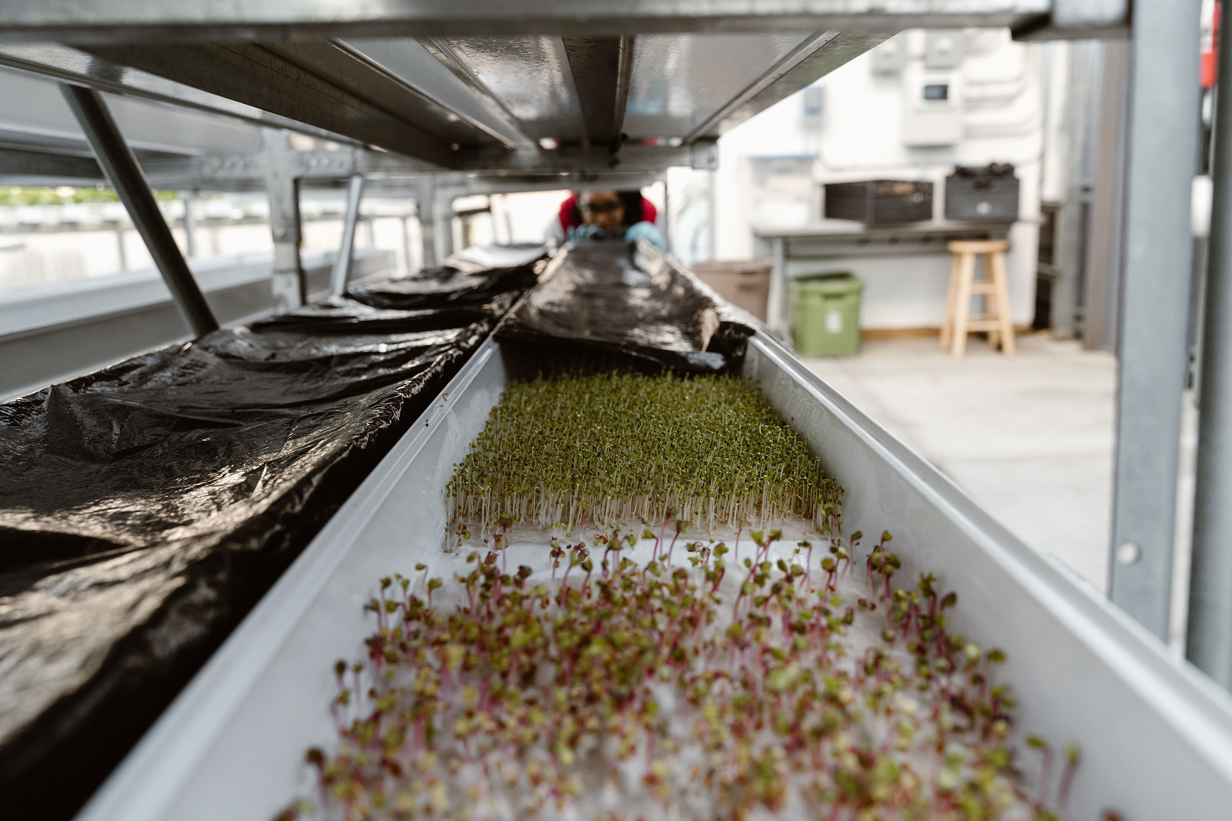 Someone tending to the hydroponic systems at Herban Produce in Chicago, Illinois.
