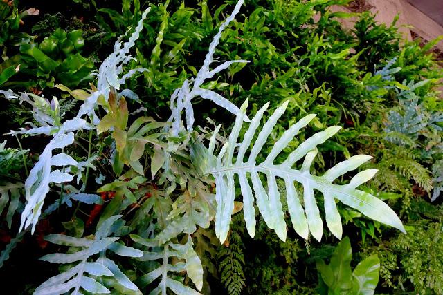 Blue Star Fern used in the Florafelt vertical garden system.
