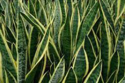 4. Snake plant