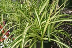 5. Spider plant