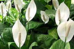 6. Peace lily