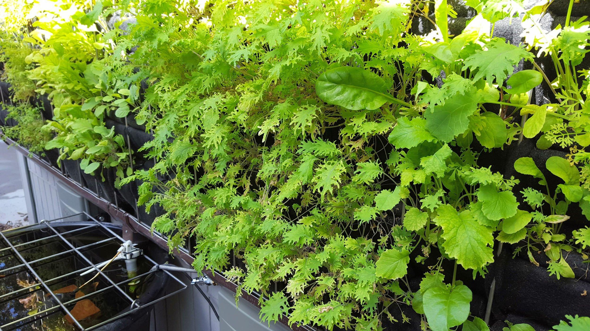 Florafelt Pro System Aquaponics Chris Bribach Sonoma California 17.jpg