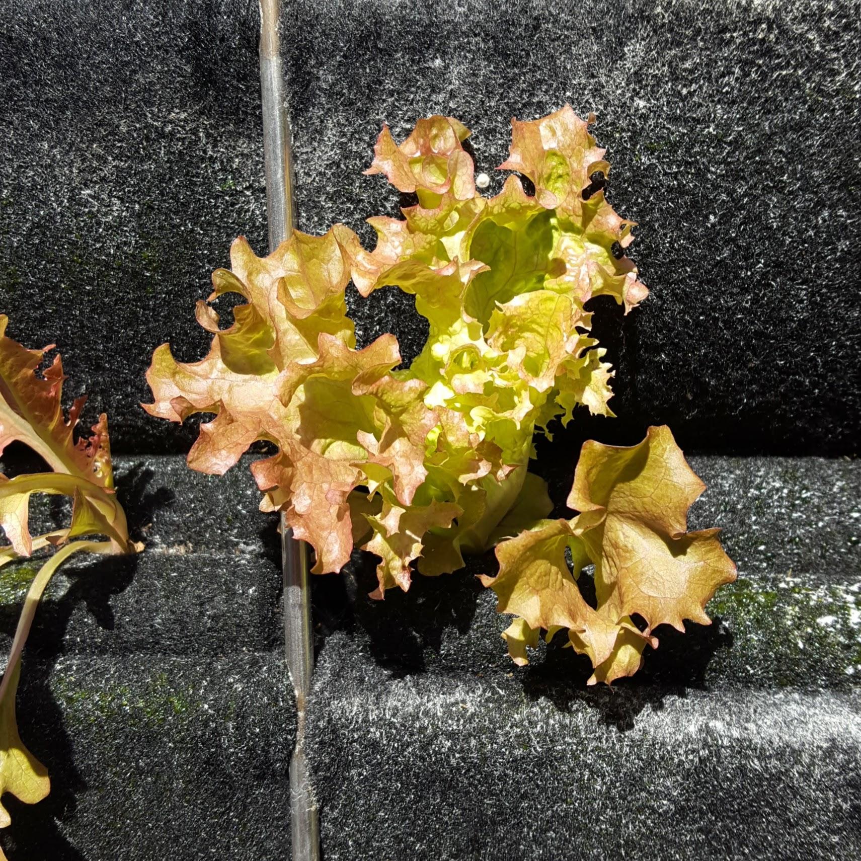 Florafelt Pro System Aquaponics Chris Bribach Sonoma California 18.jpg