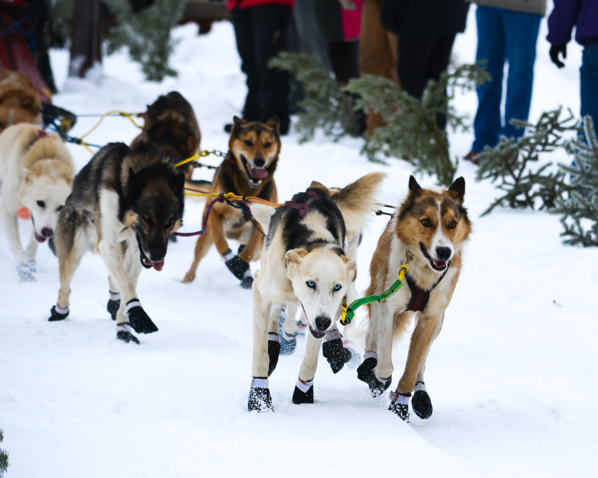 The dogs take off in the Voyageurs Classic Sled Dog Race in Northome, Minn.