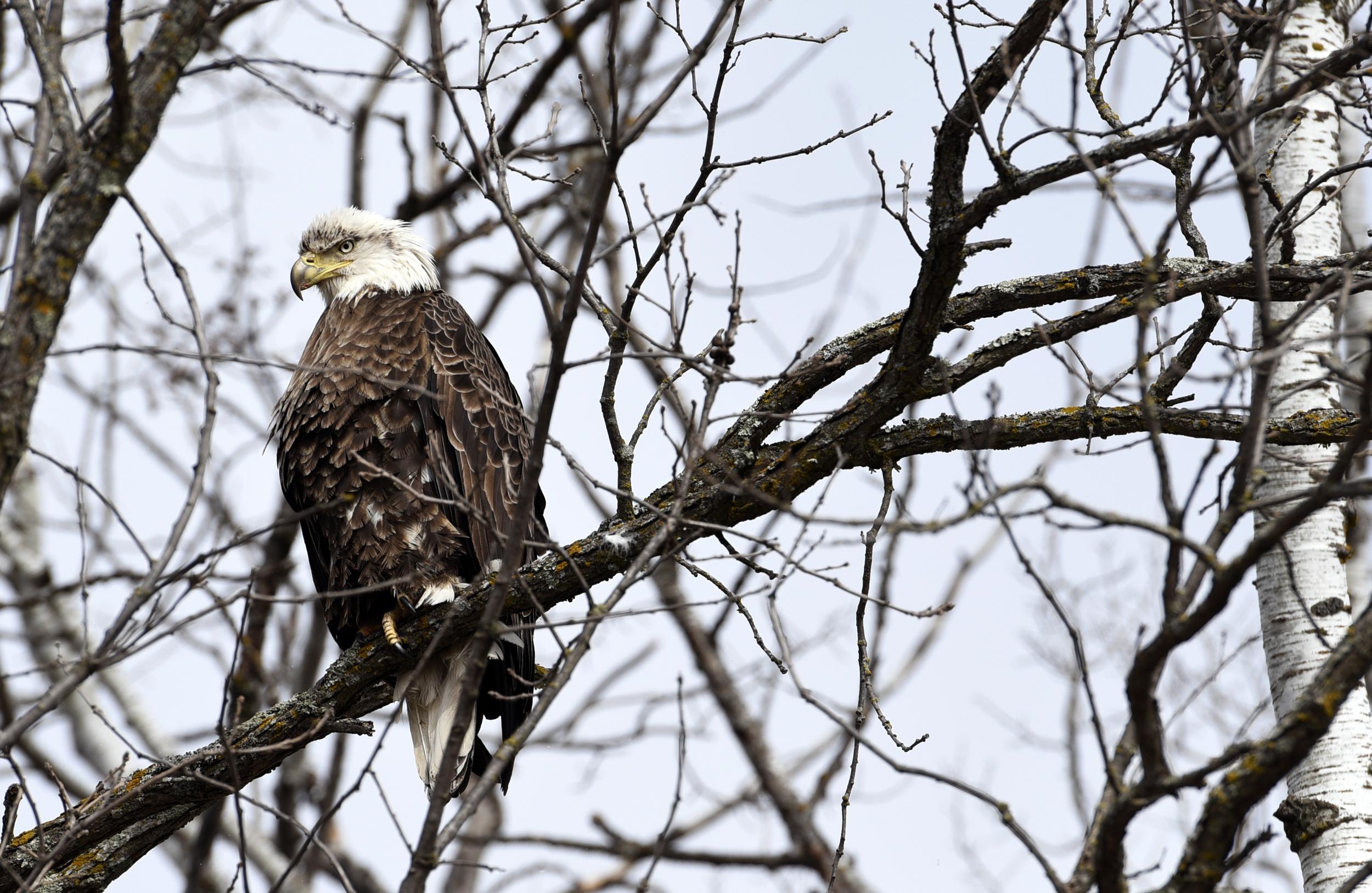 A bald eagle perches in a tree along U.S. Highway 71 in Bemidji.