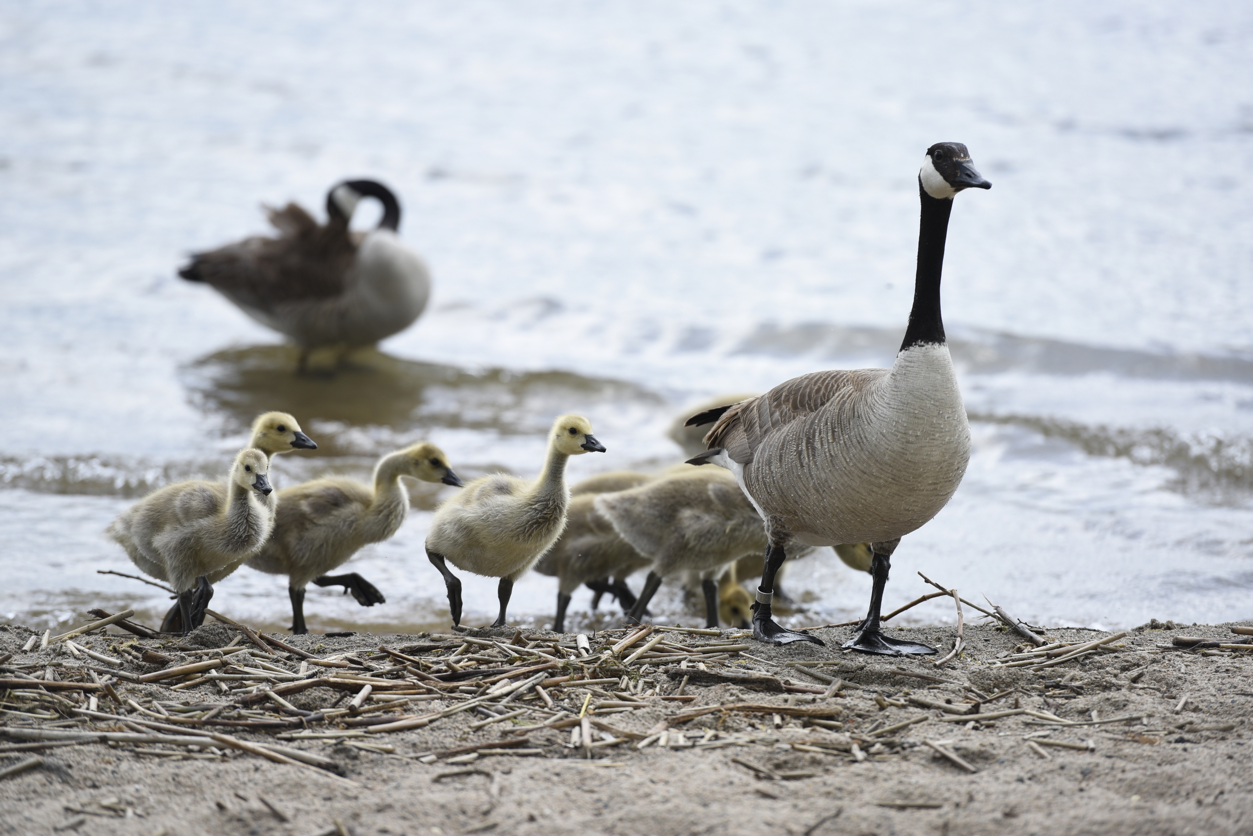 Geese and their goslings explore the beach at Diamond Point Park in Bemidji.