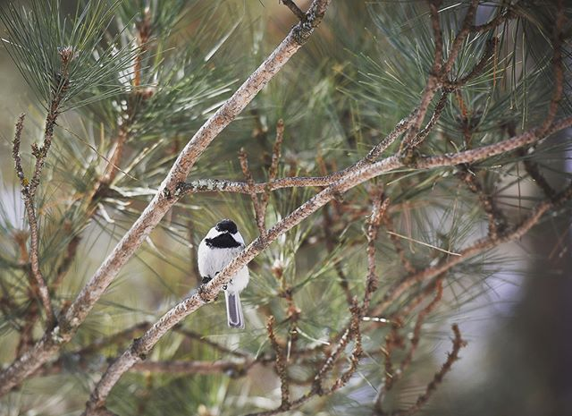 Black-capped chickadees are cutest little nugget birds EVER. • • #blackcappedchickadee #allaboutbirds #chickadee #lakebemidjistatepark #stateparks #mnphotographer #minnstagramers #minnstagram #birds #nature #optoutside #nikon #nikonphotography #minnesotaontap #capturemn #exploremn #bemidji #minnesota