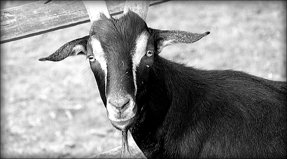 img_p_photo_goat.png