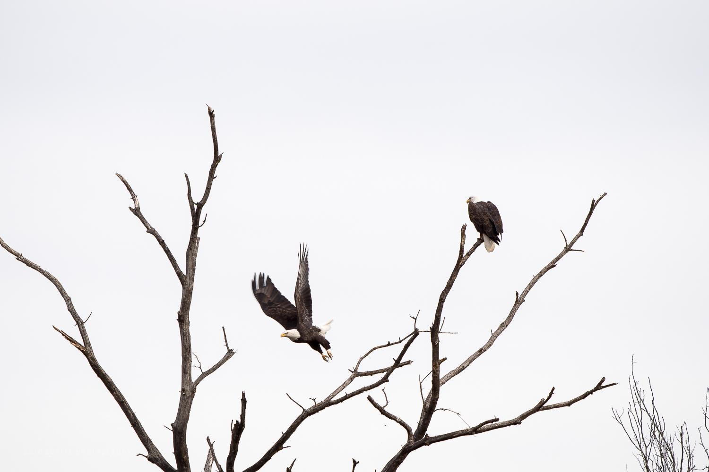 eaglewatch_dec20161221--4.jpg