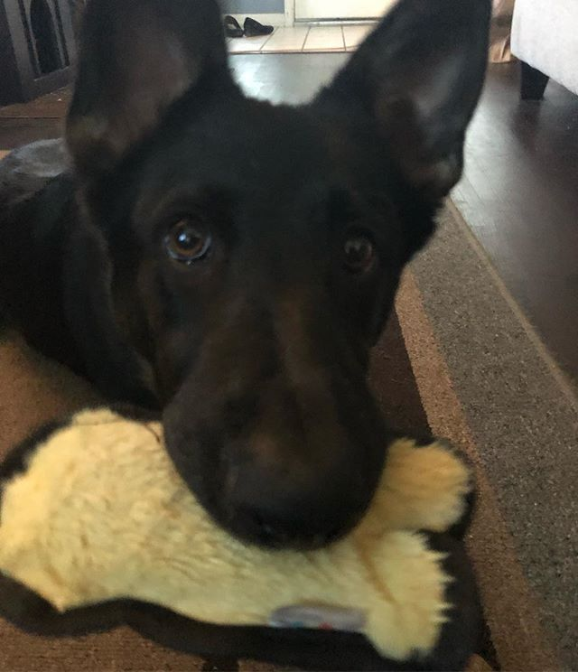My puppy ❤️❤️ her duck toy is one of her favorites!  #puppy #germanshepherd #germanshepherdpuppy #gsd #germanshepherdsinaustin #lovemydog