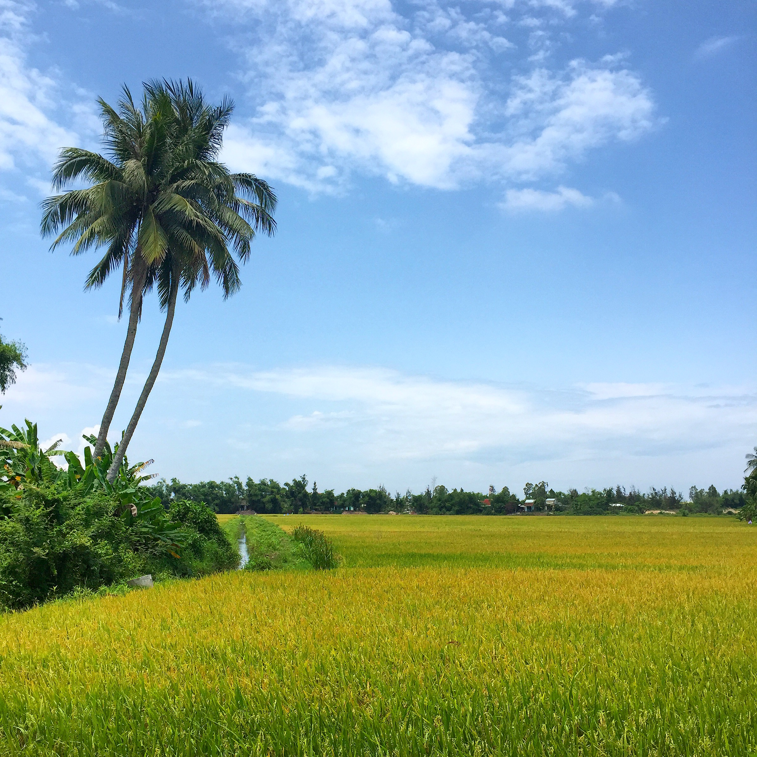 Hoi An, Vietnam. Countryside before the Rice harvest.