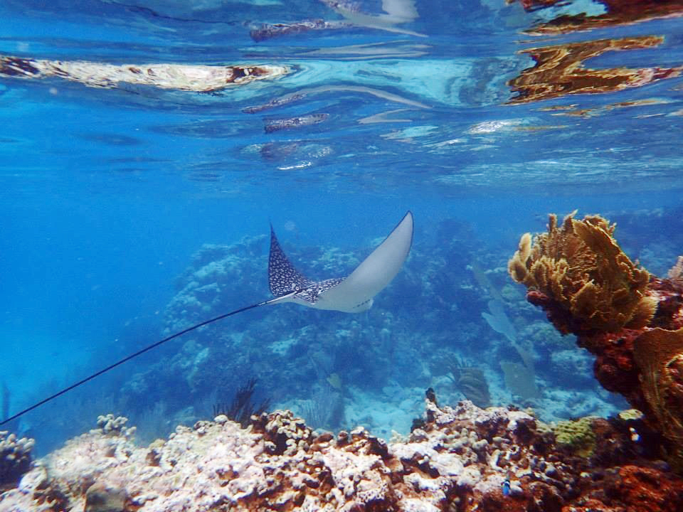 The most elegant spotted eagle manta rays