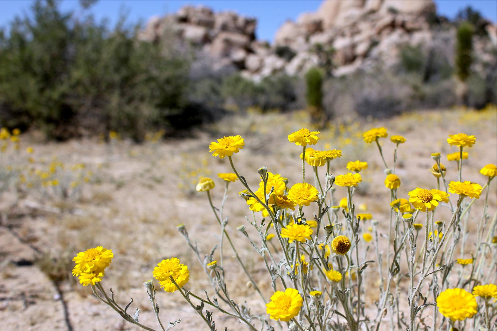 The Baileya (Desert Marigold)