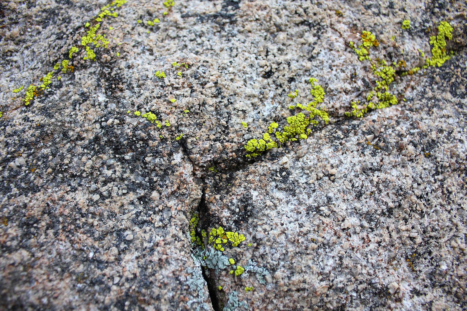 Yellow Candelariella Aurella Lichen