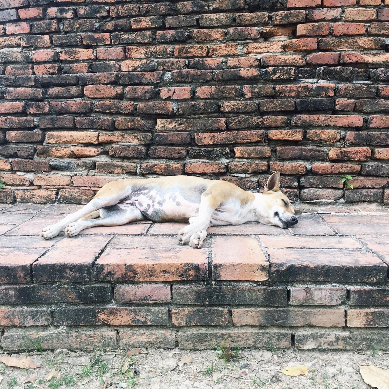 Stray dog taking a nap in Ayutthaya