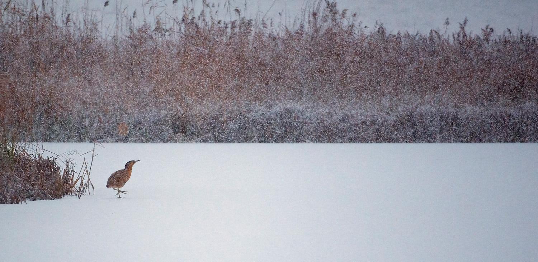 Bittern in Winter