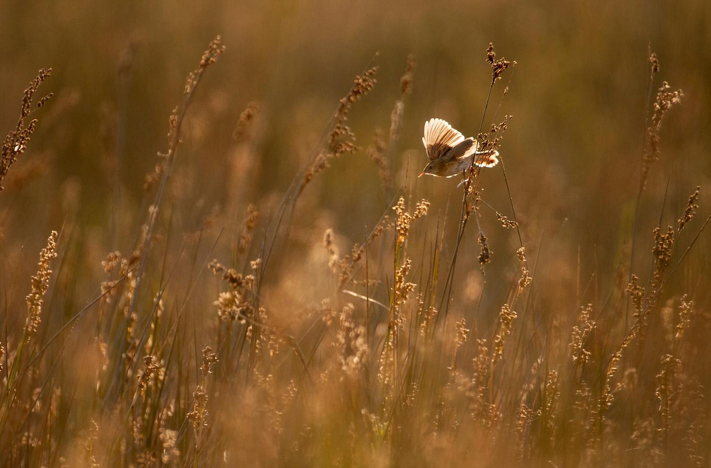 Sicily July 2012_0114-Fan-tailed-Warbler.jpg