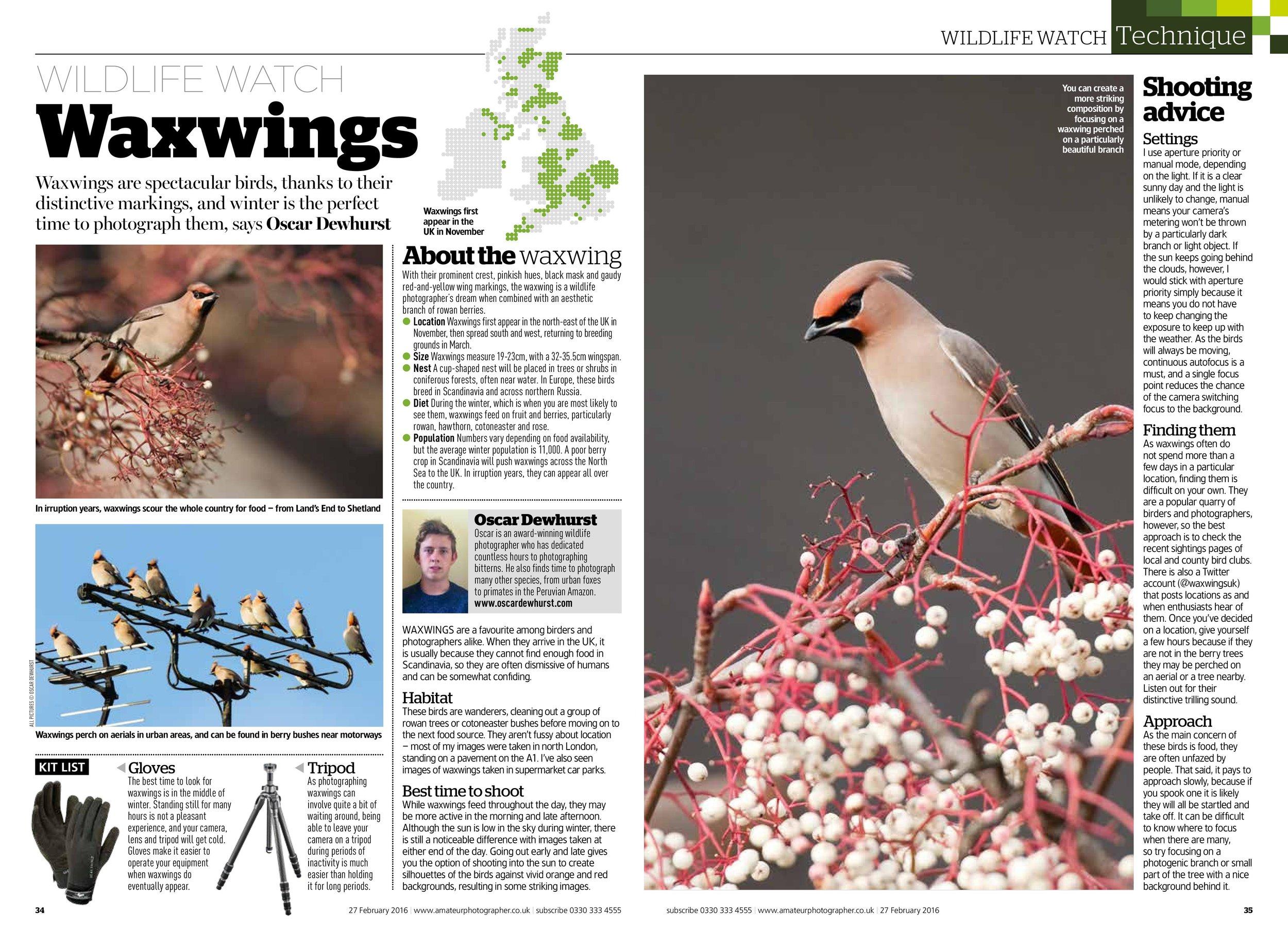 Waxwings Wildlife Watch