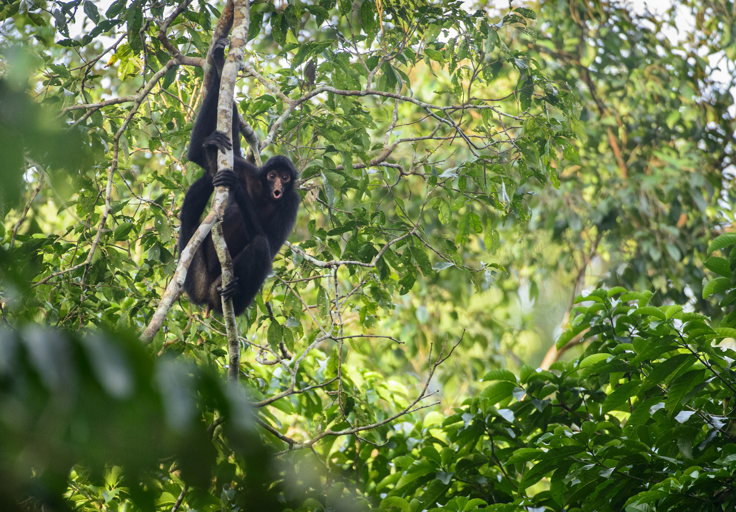 Peruvian Spider Monkey (Ateles chamek) in the Peruvian Amazon, 03/14. Cropped