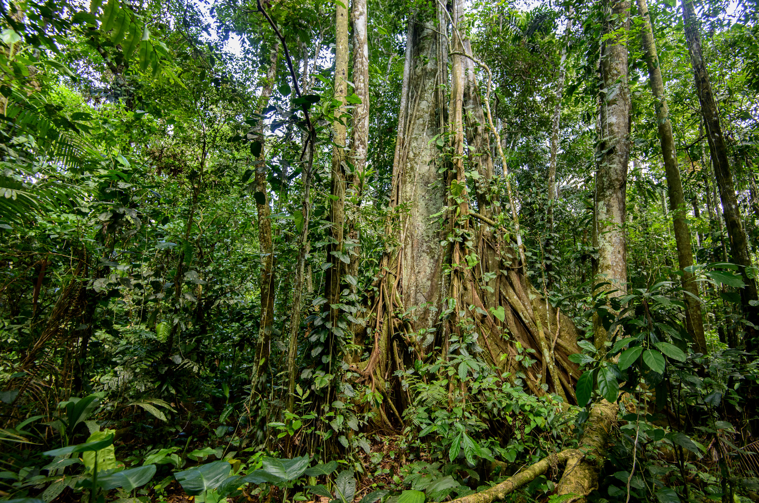 Peruvian primary rainforest, Amazon, 03/14