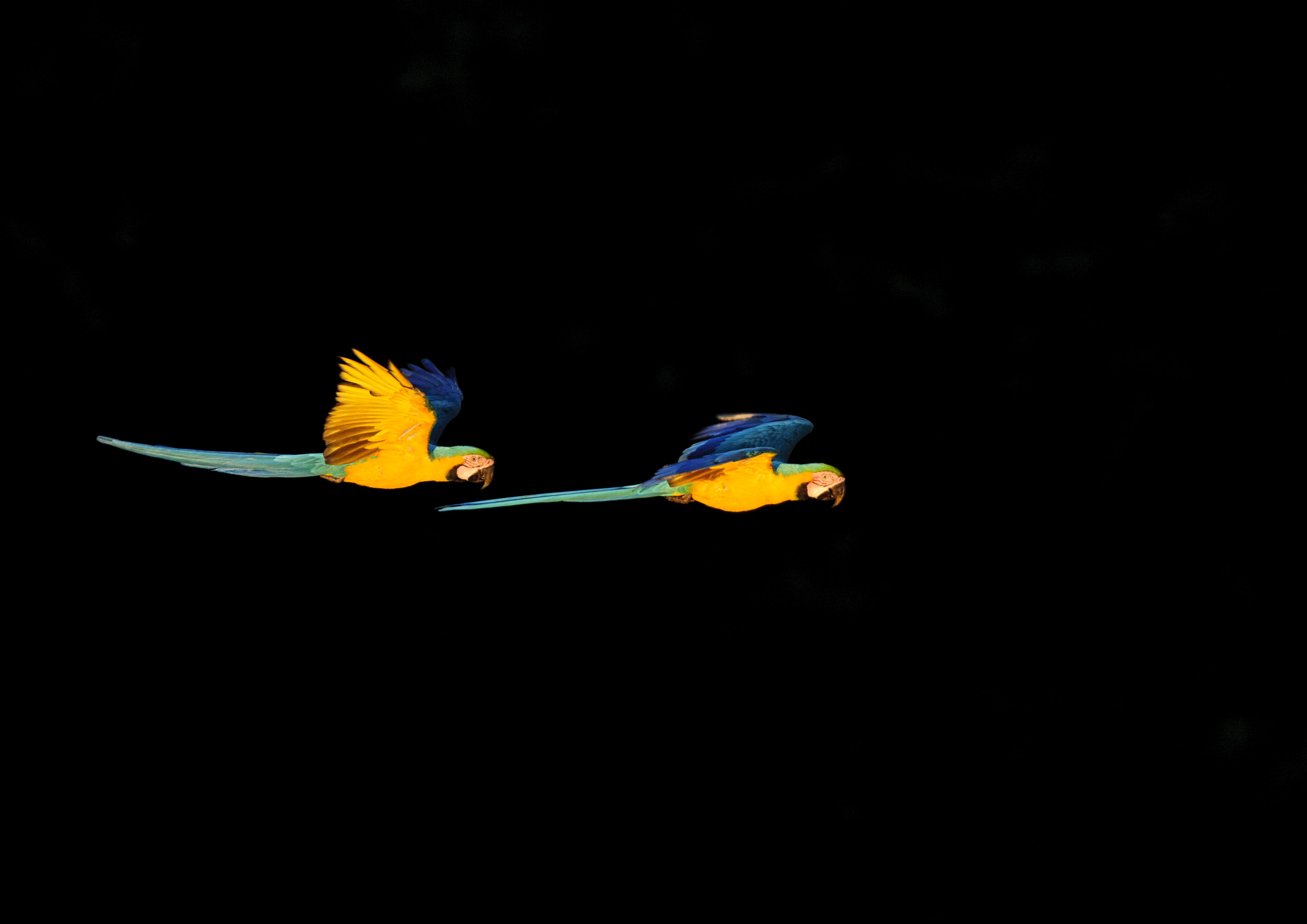 Blue-and-Yellow Macaws (Ara ararauna) flying to roost in the Peruvian Amazon. 04/14/ Cropped
