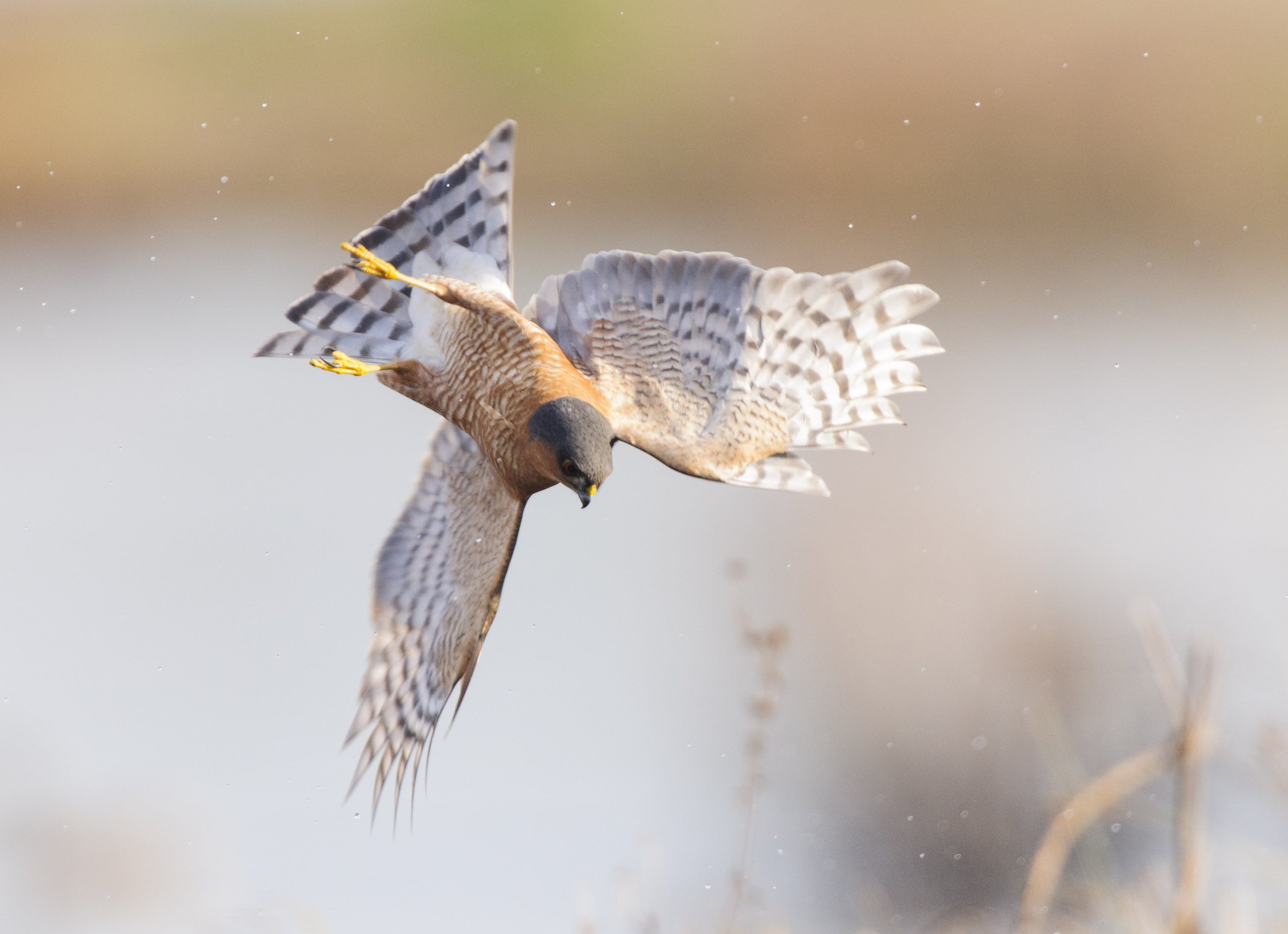 Eurasian Sparrowhawk (Accipiter nisus), hunting snipe over marshland, London, 12/13. Cropped