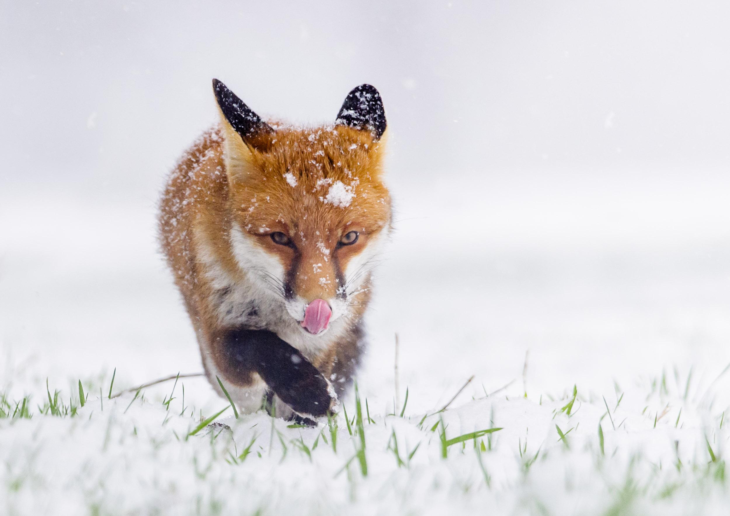 Red Fox (Vulpes vulpes), walking through falling snow, London, 01/13. Cropped