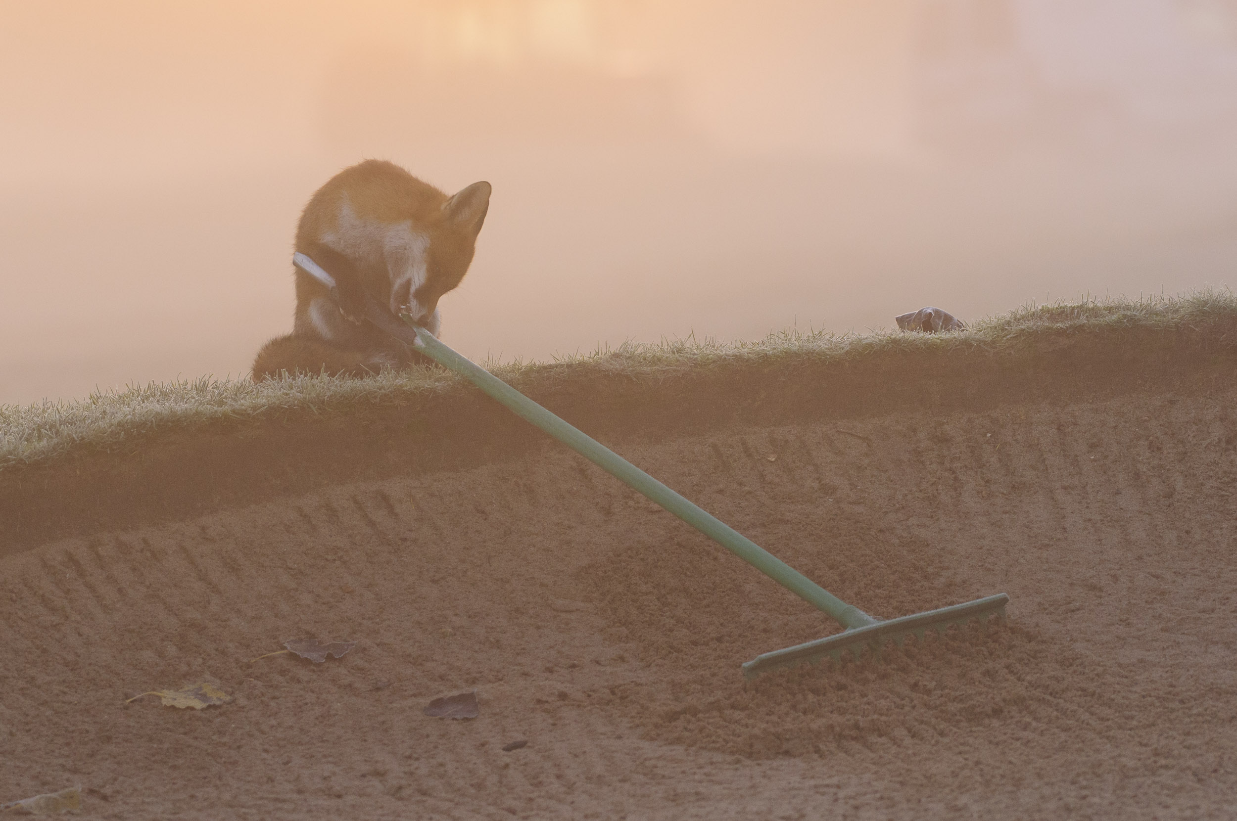 Red Fox (Vulpes vulpes), gnawing at the handle of a bunker rake on a golf course, London, 11/12