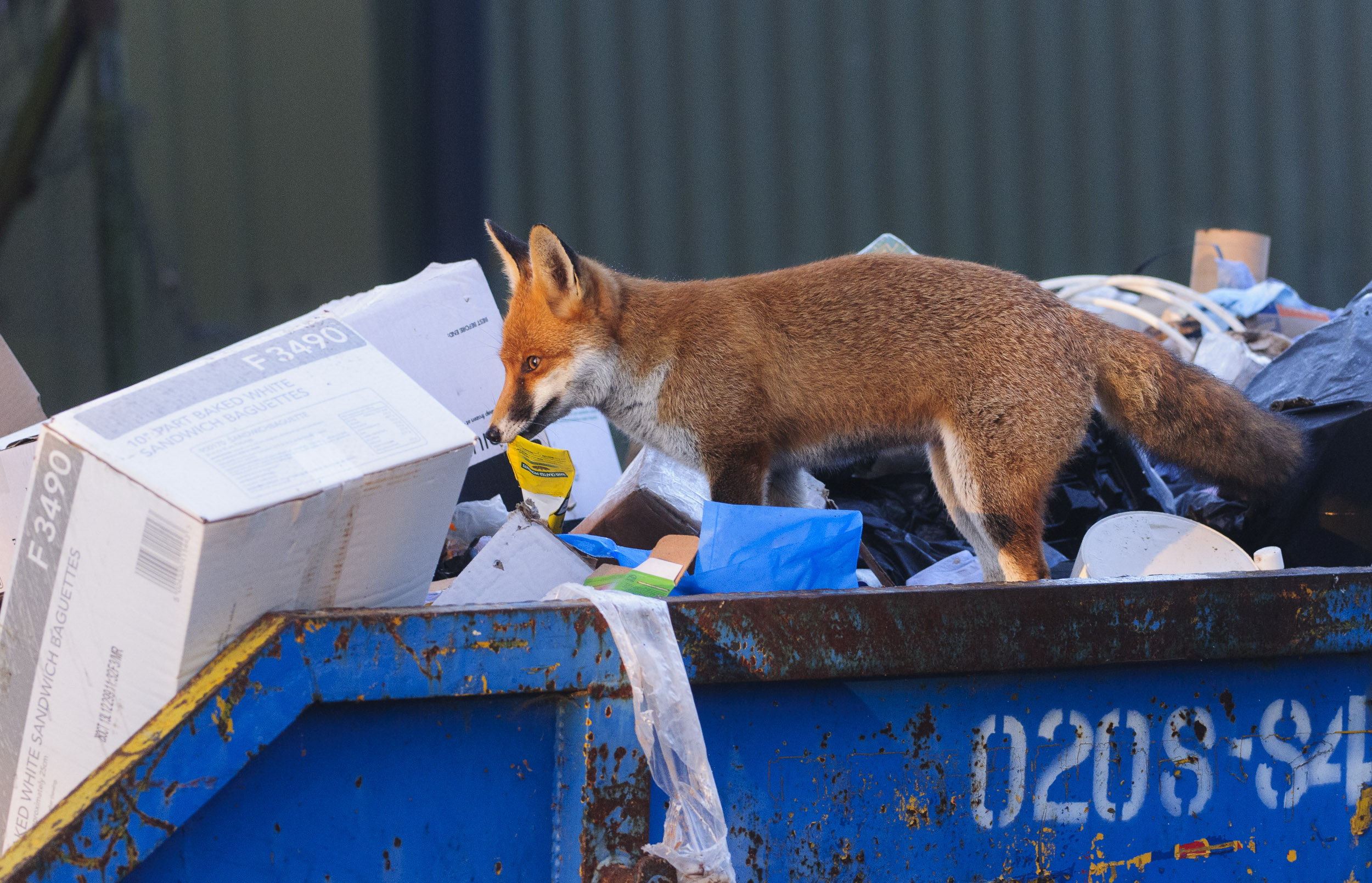 Red Fox (Vulpes vulpes), looking for food in a skip, London, 11/12