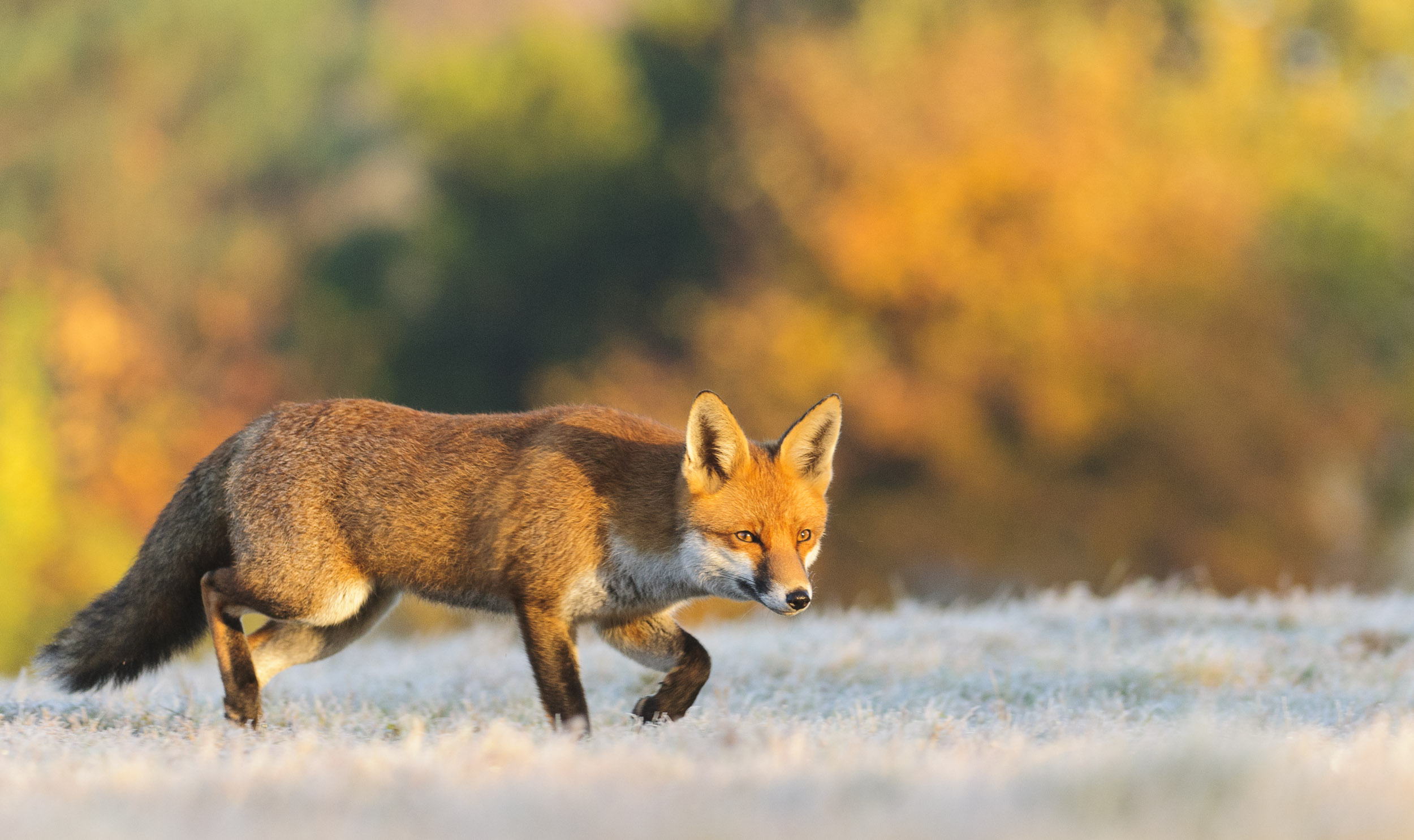 Red Fox (Vulpes vulpes), hunting in the frost, London, 11/12