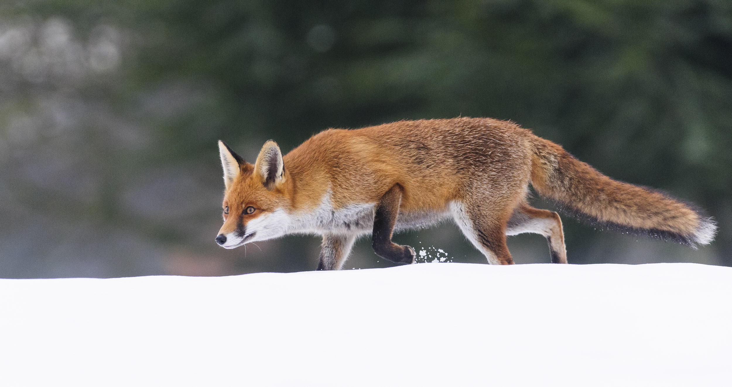 Red Fox (Vulpes vulpes), hunting in snow, London, 01/13. Cropped