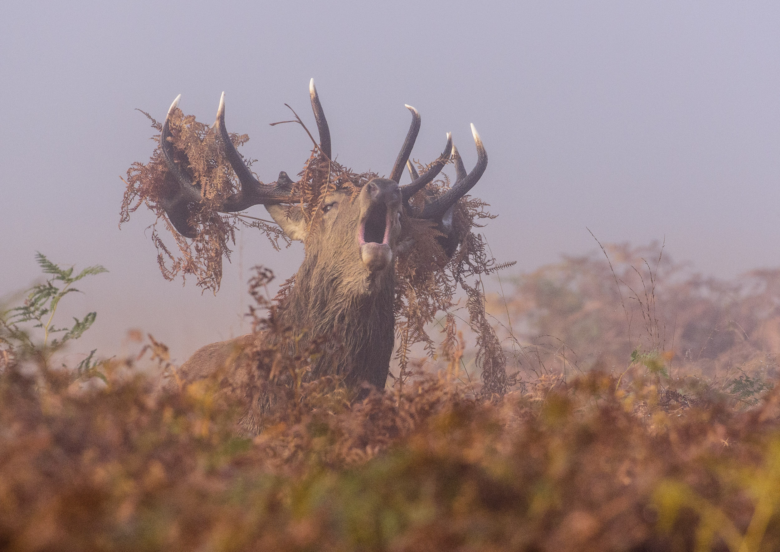 Red Deer (Cervus elaphus), London, male stag roaring during the rut with bracken-covered antlers, 10/12