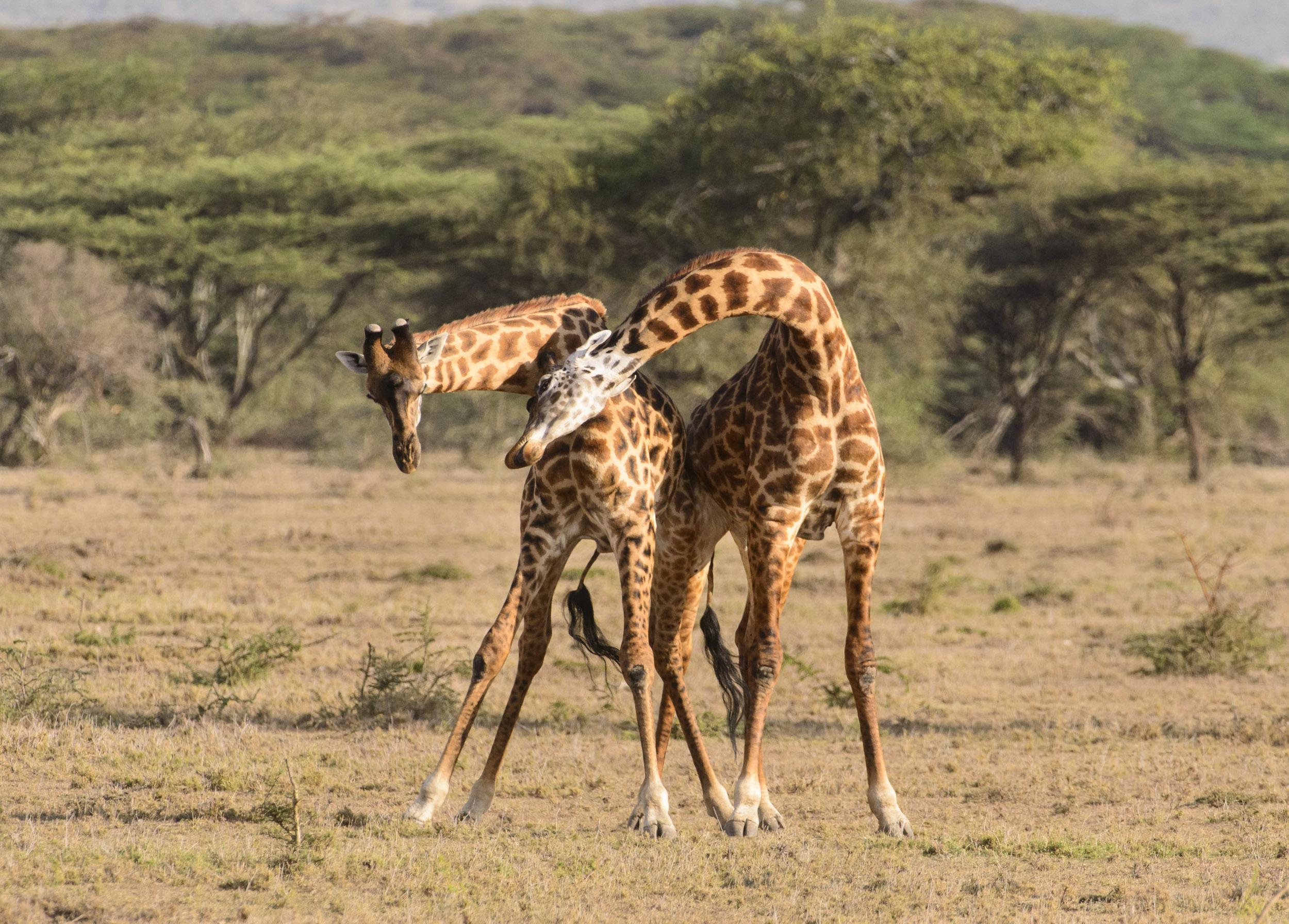 Giraffe (Giraffa camelopardalis), two males fighting with their necks, Ol Kinyei Conservancy, Kenya, 07/14. Cropped