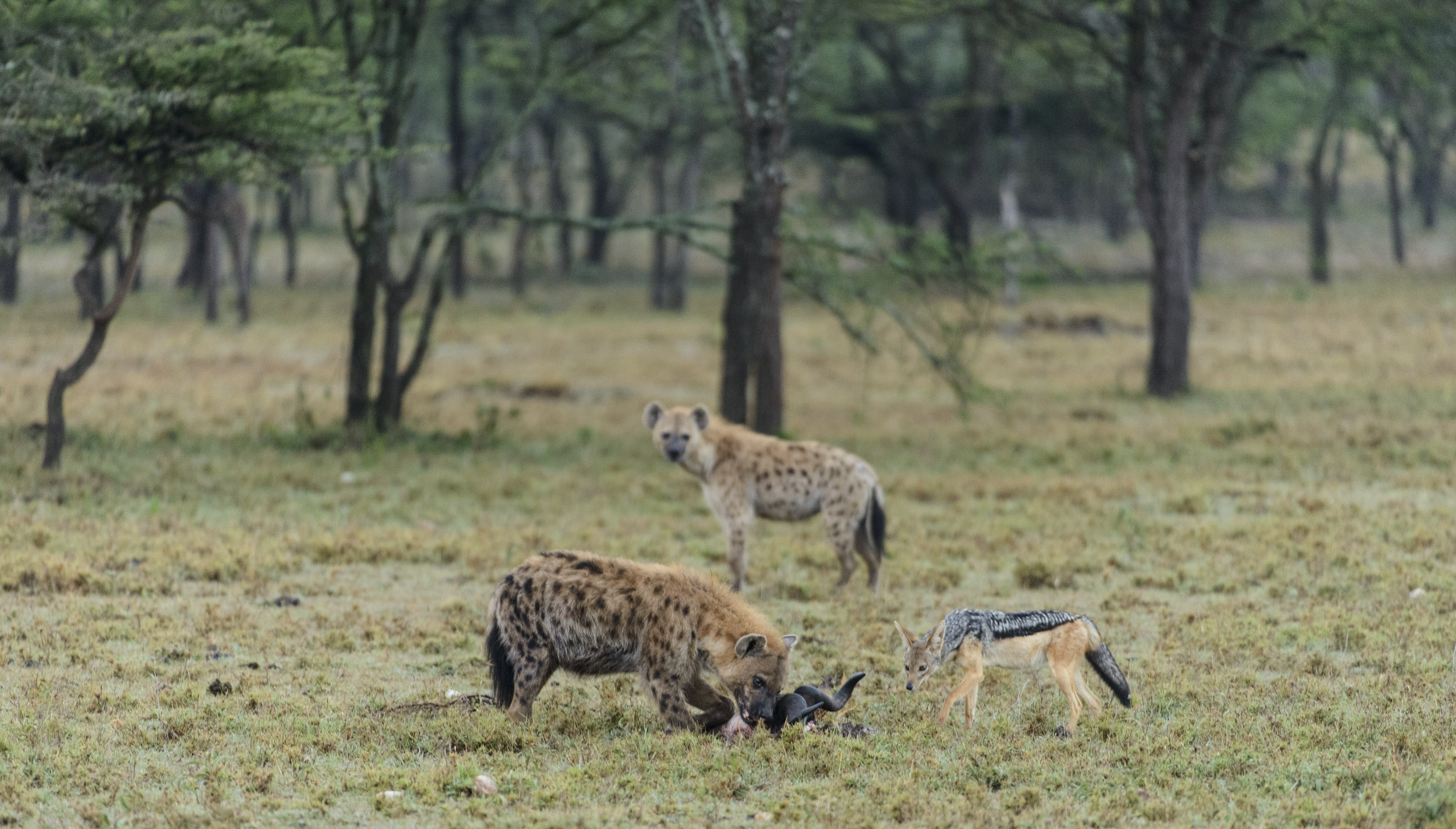 Spotted Hyena (Crocuta crocuta) and Black-backed Jackal (Canis mesomelas) scavenging from wildebeest skull, Ol Kinyei Conservancy, Kenya. 07/14.