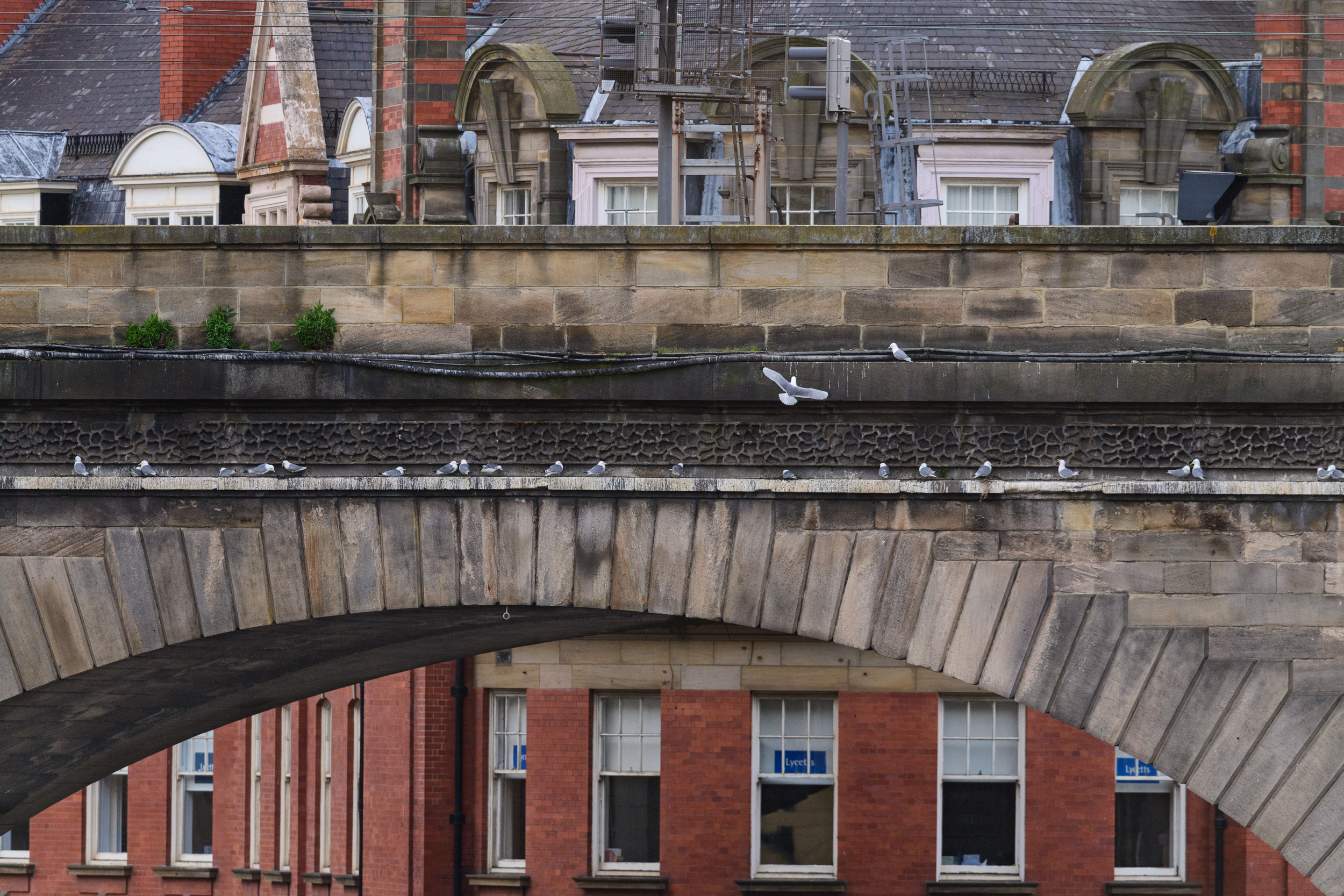 Black-legged kittiwakes (Rissa tridactyla) perched on a rail bridge in Newcastle city centre. Newcastle, UK. May