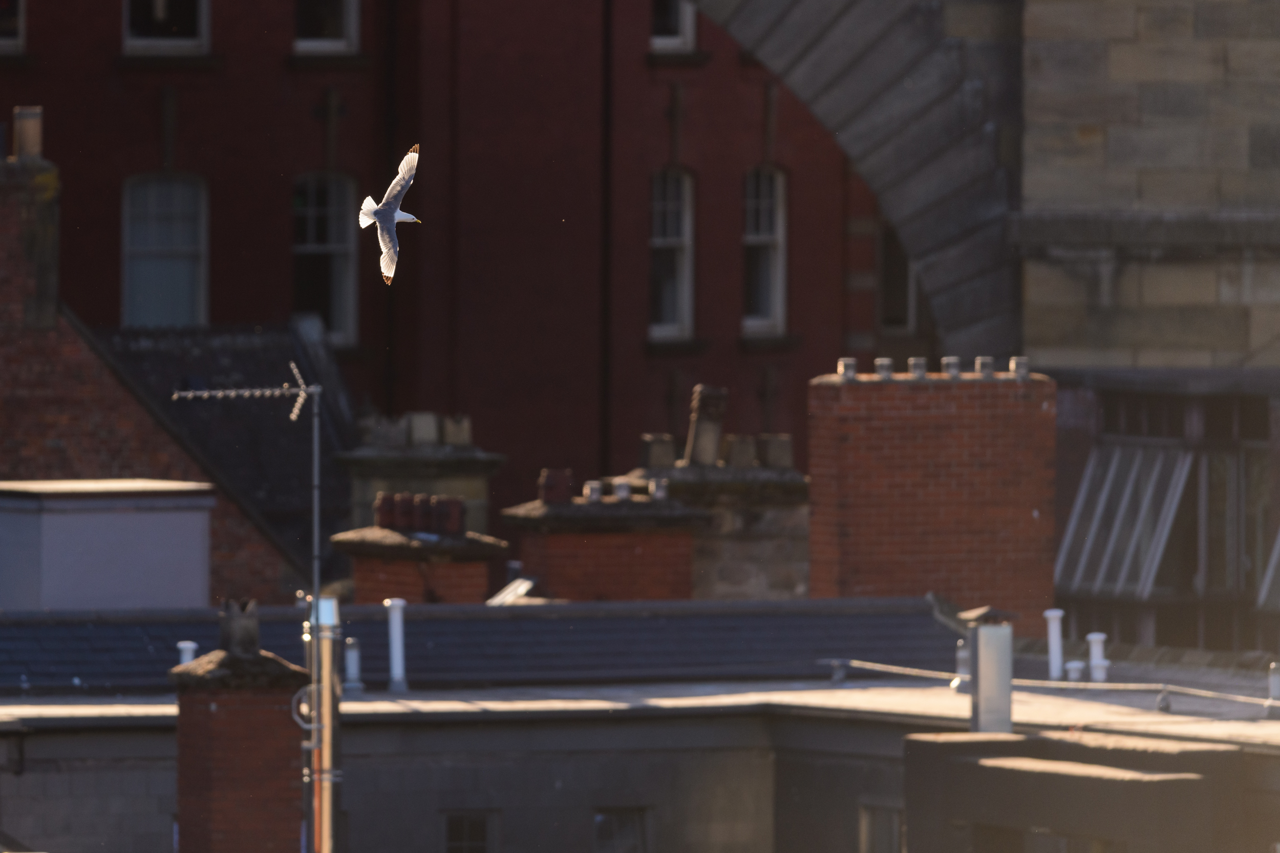 A Black-legged kittiwake flies over the rooftops of Newcastle, where they nest