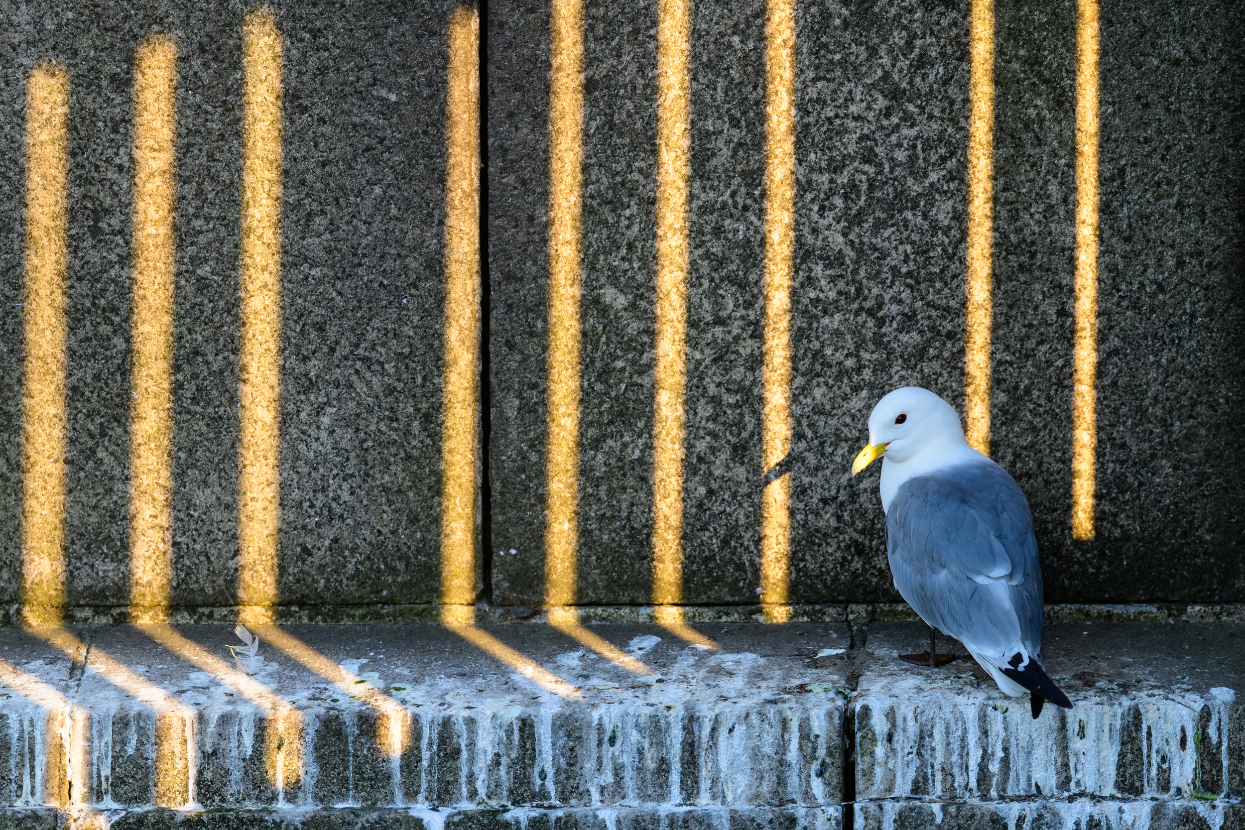 Black-legged kittiwake (Rissa tridactyla) adult perched on a ledge of the Tyne Bridge, with light filtering through gaps in the bridge. Newcastle, UK. June