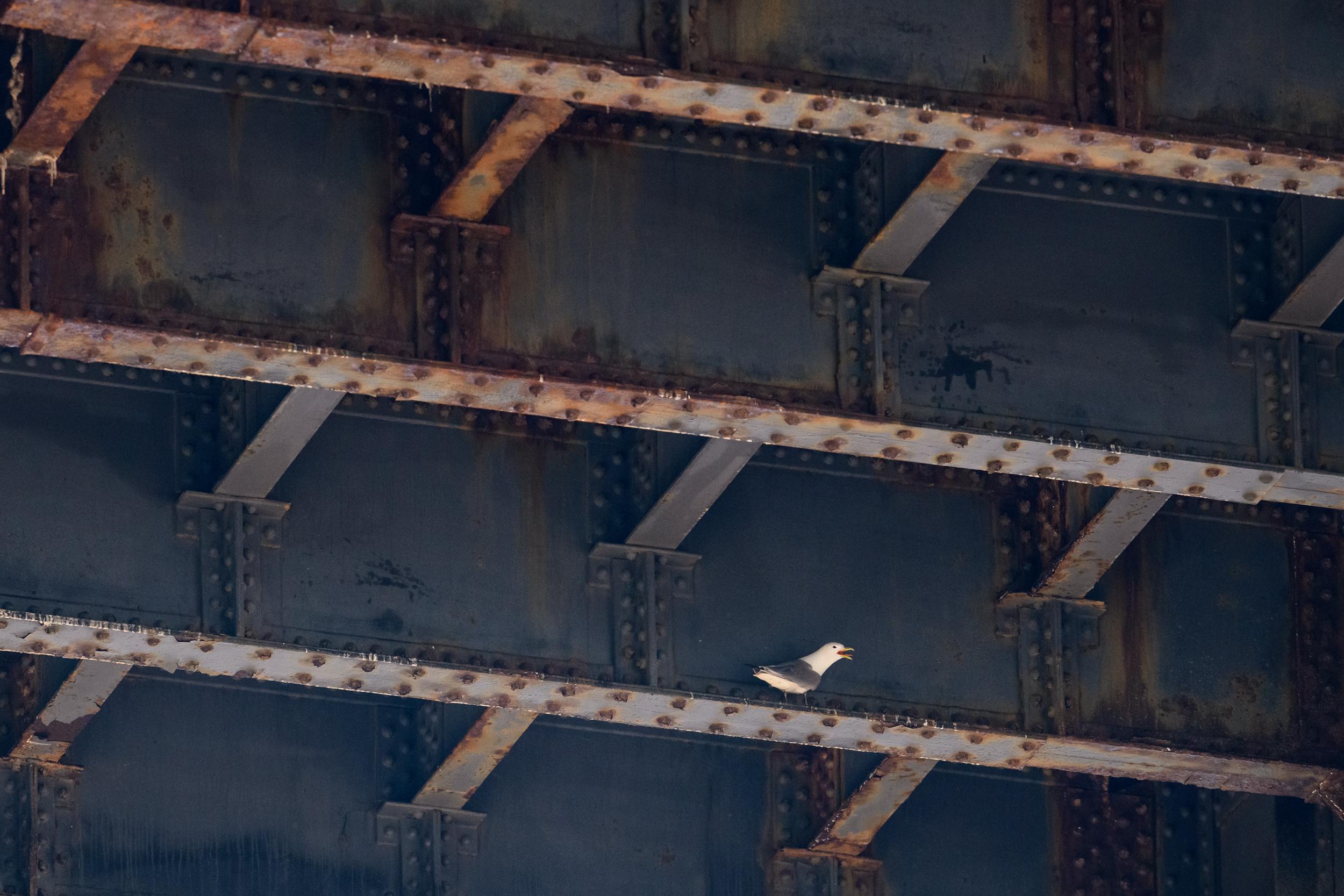 Black-legged kittiwake (Rissa tridactyla) adult calling from underneath the Tyne Bridge. Newcastle, UK. July