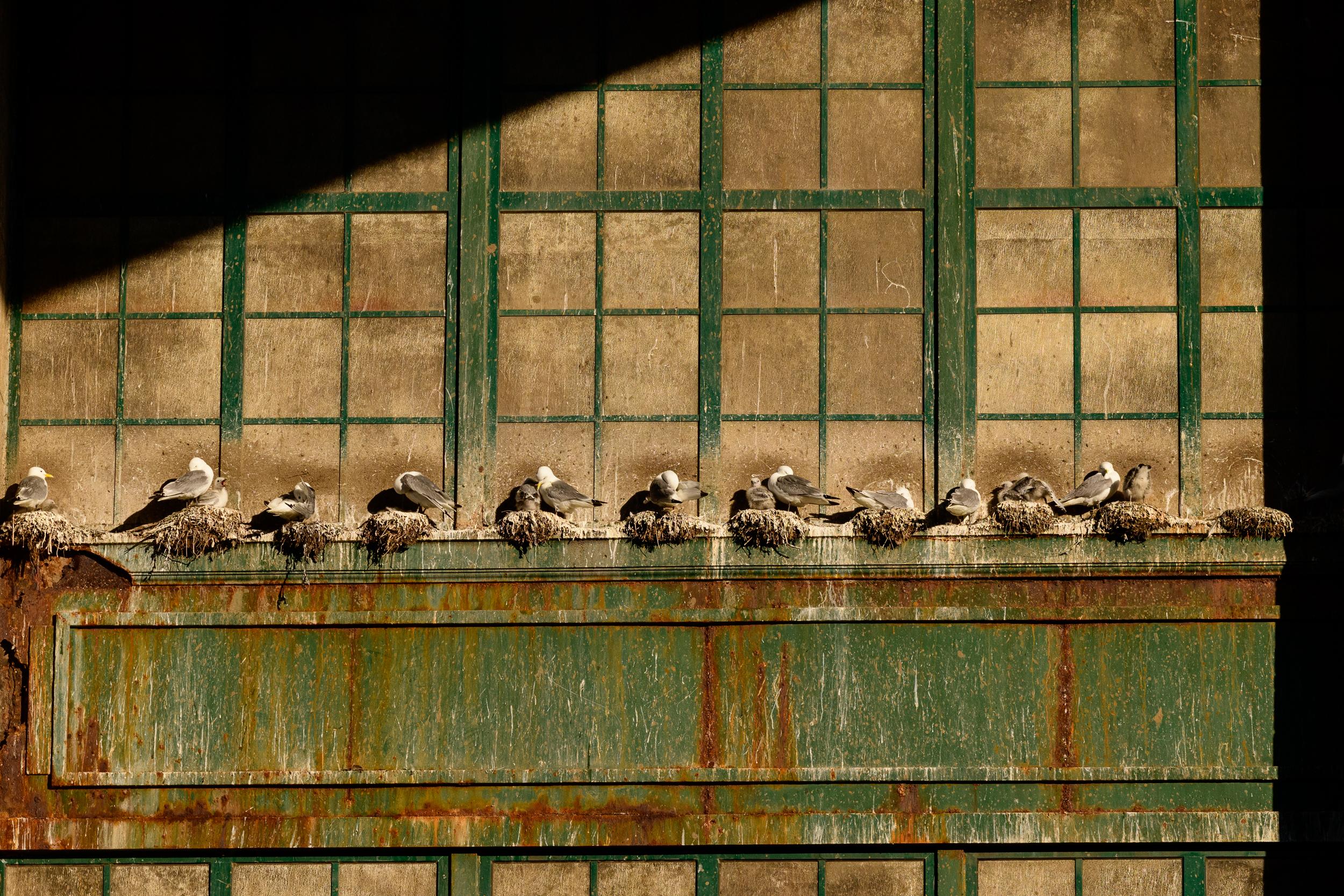 Black-legged kittiwake (Rissa tridactyla) adults and chicks on nests on the Tyne Bridge. Newcastle, UK. July. Cropped