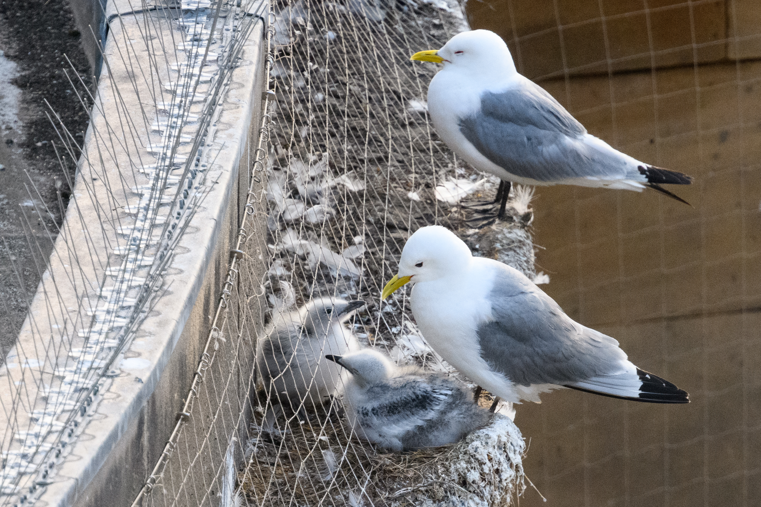 Black-legged kittiwake (Rissa tridactyla) adults and chicks. Also visible is the netting installed as a deterrent to kittiwakes breeding on the buildings. One chick has slipped through the netting, so had to be freed a few days later by the fire brigade. Newcastle, UK. July. Cropped
