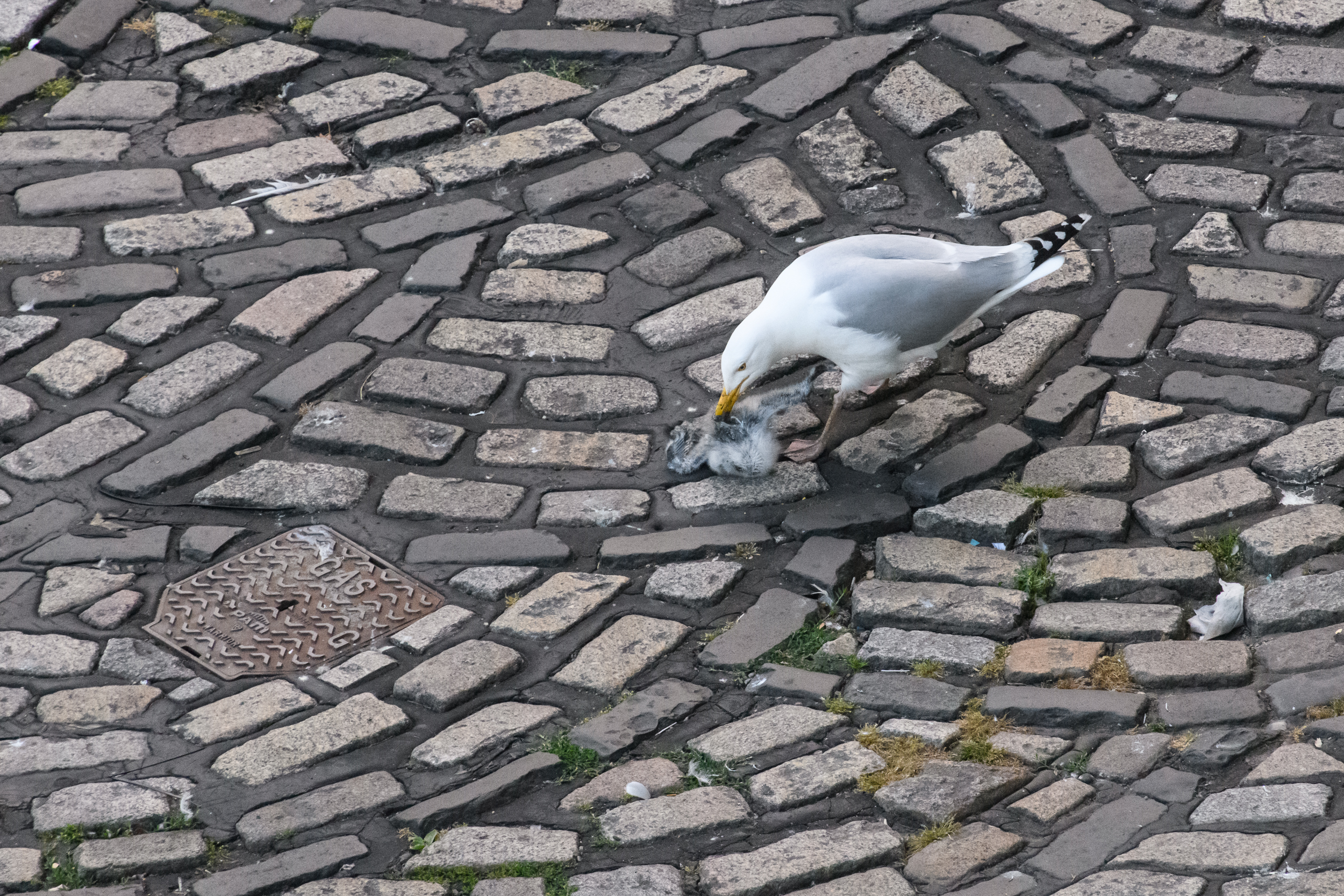 European herring gull (Larus argentatus) with dead kittiwake (Rissa tridactyla) chick on the road. Newcastle, UK. July