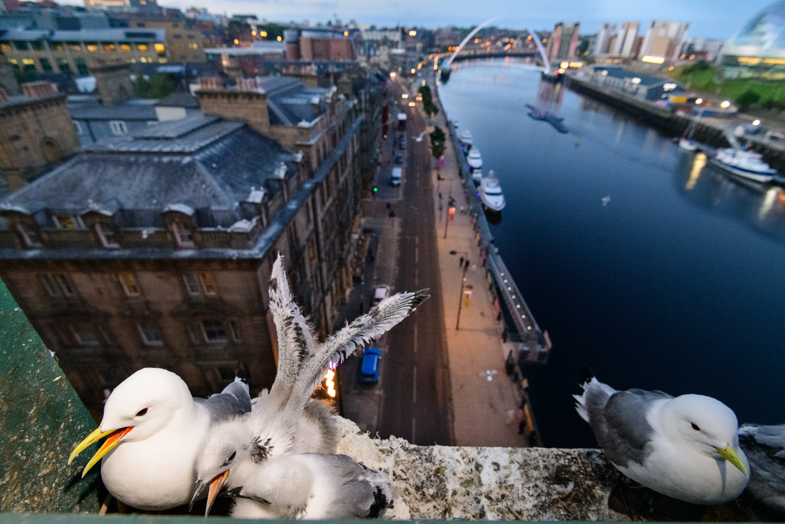 Black-legged kittiwake adult and juveniles on the Tyne Bridge in Newcastle, where some of them nest