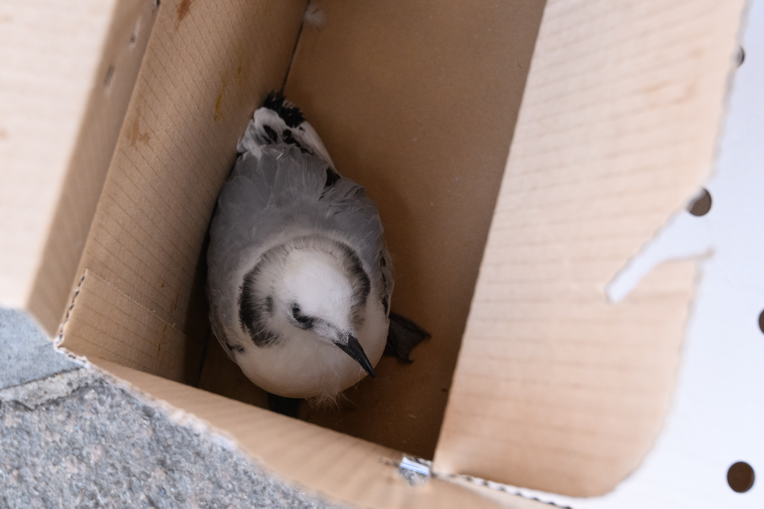 Black-legged kittiwake (Rissa tridactyla) juvenile, recently rescued after beign trapped in netting installed on buildings to prevent kittiwakes nesting on them. The bird was taken to be rehabilitated. Newcastle, UK. July