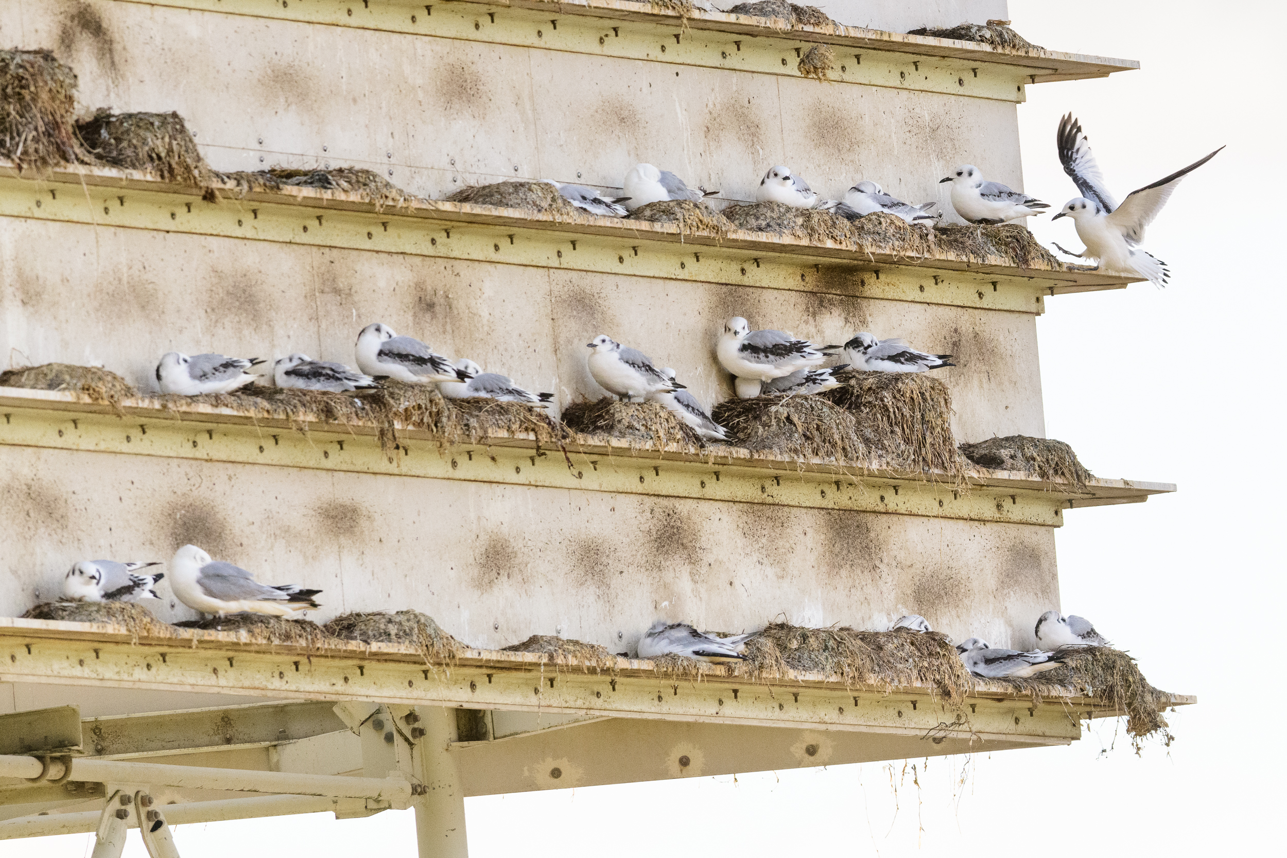 Black-legged kittiwake (Rissa tridactyla) juveniles on an artificial nesting tower built in Gateshead, Newcastle, UK. July