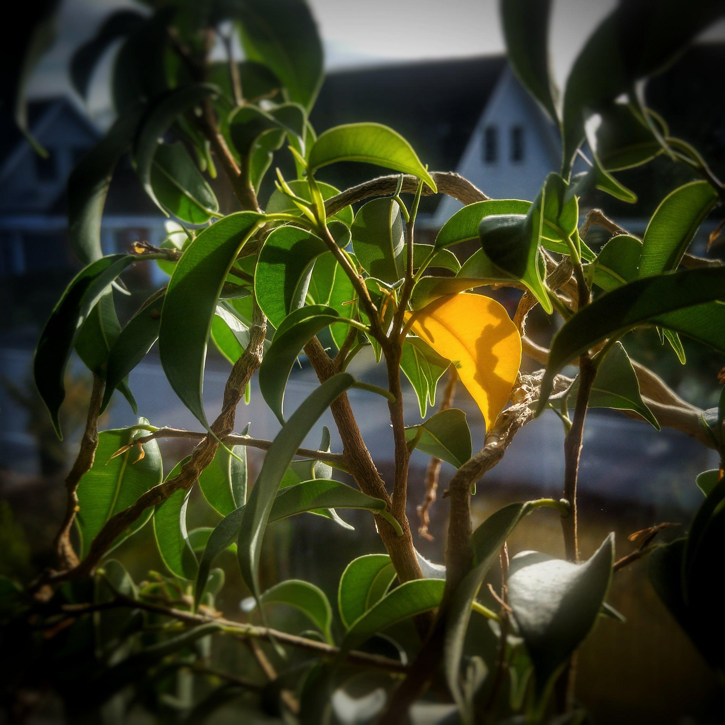 November 17 - Day 322: Yellow Leaf