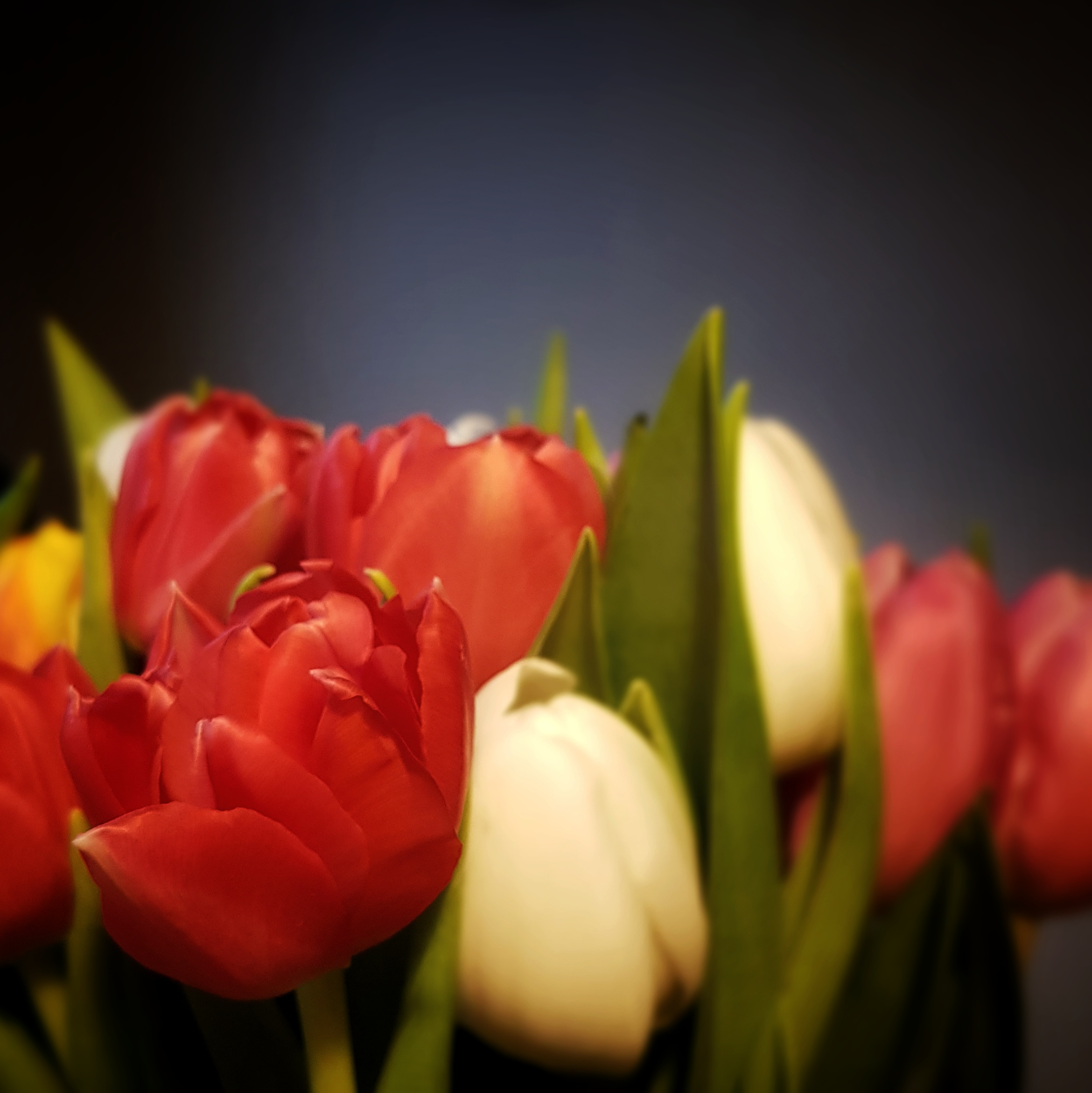 Day 24: January 24 - Tulips