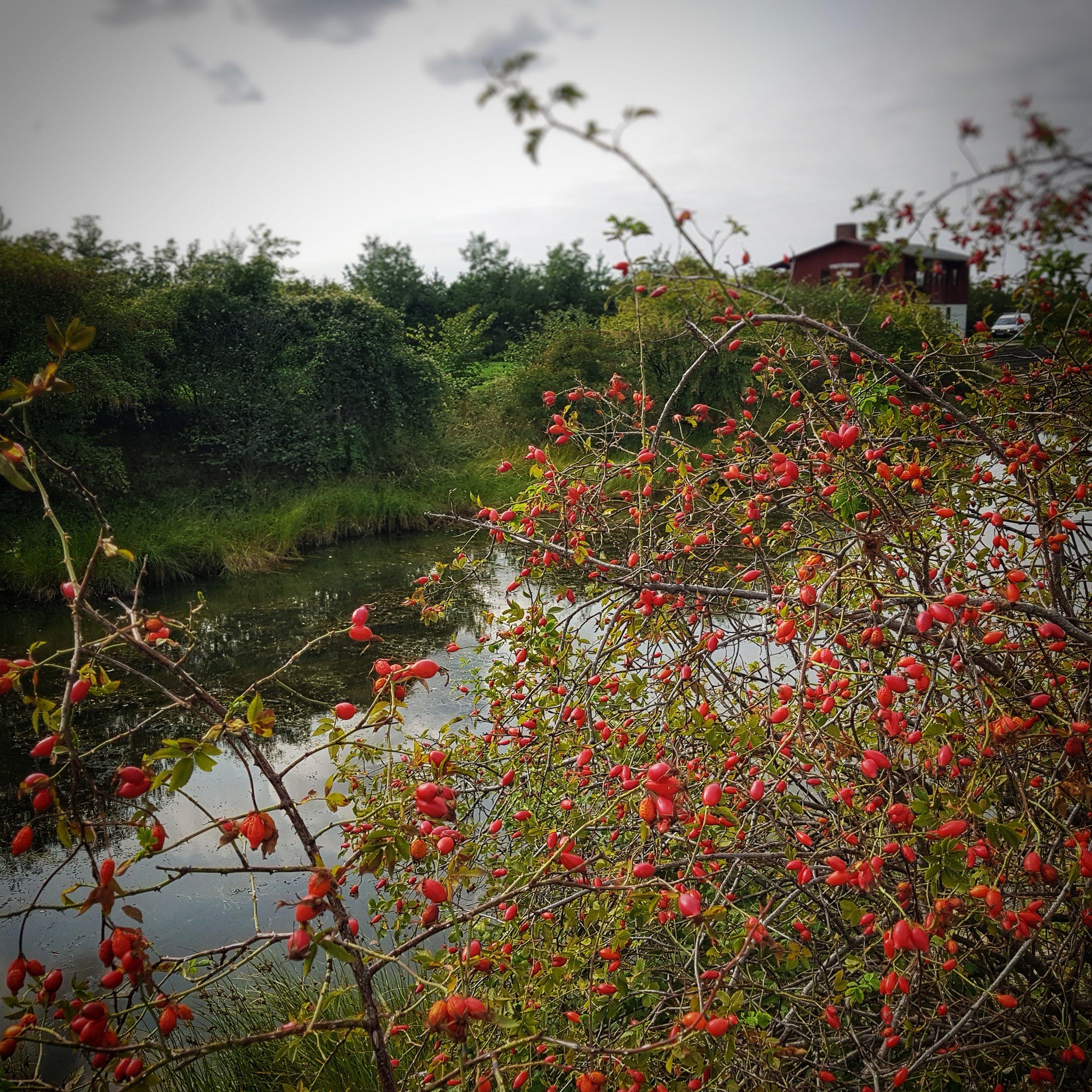 Day 243 - August 31: Berry abundance
