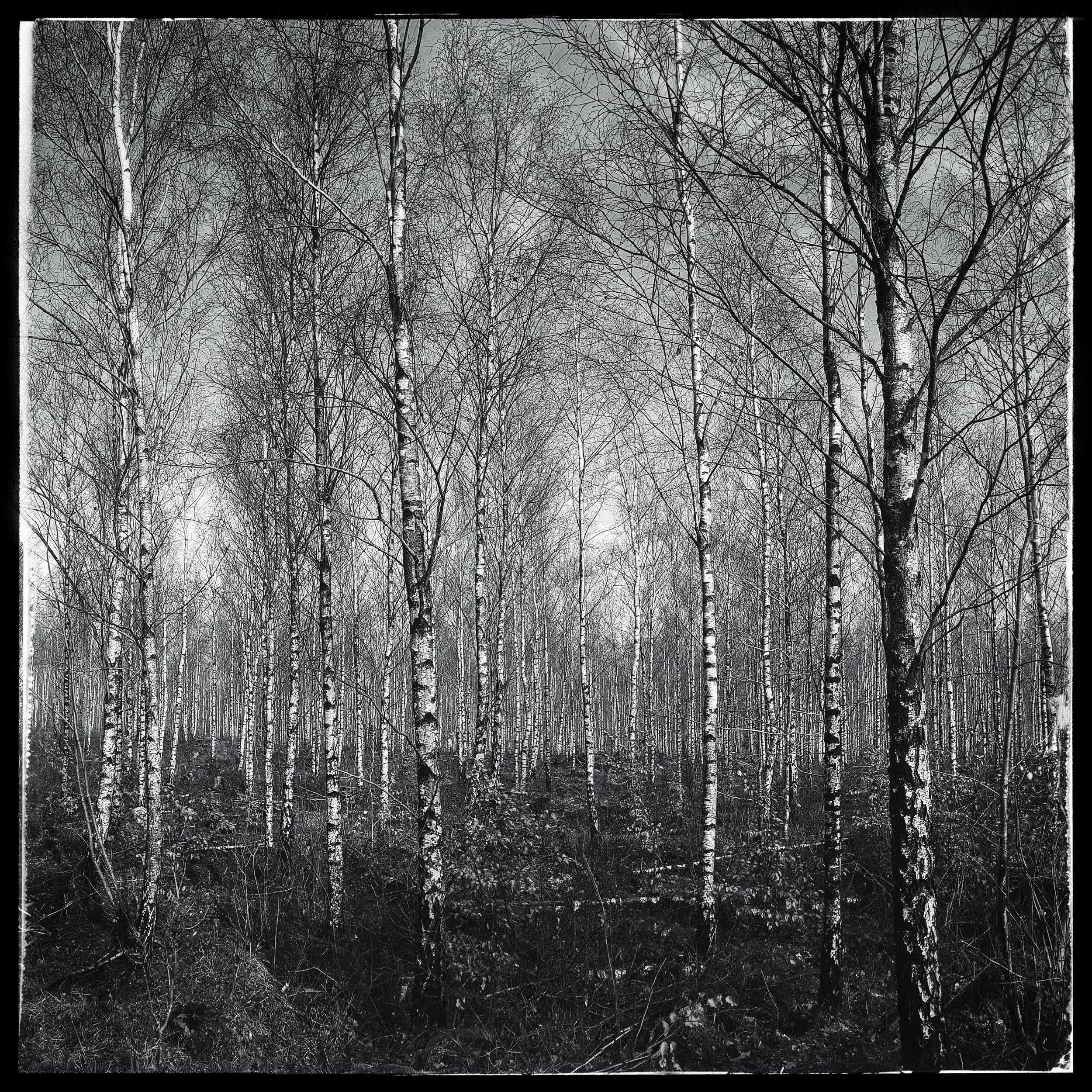 March 4 - Day 63: Birch Tree Bonanza